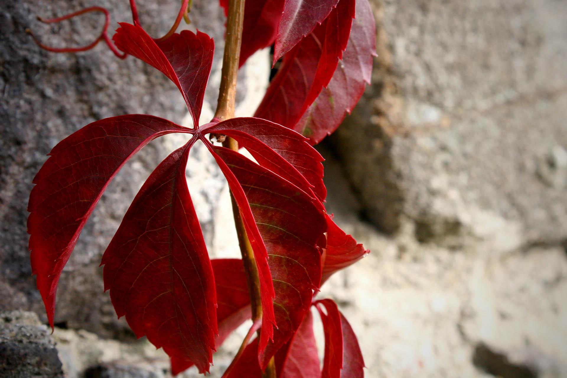Rotes Weinlaub (Vitis Vinifera)